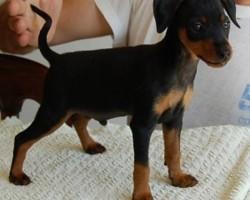 Foxi del Piervez a 2 mesi e mezzo.  Proprietari: Famiglia Cavalli